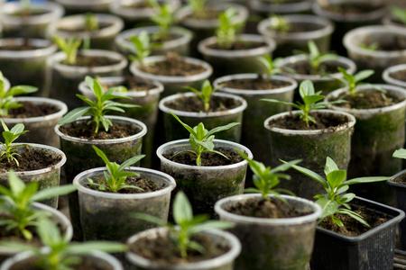 Vegetable seedlings in plastic flower pots from above