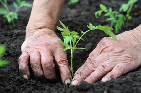 Senior vrouw een tomaten seedling planten