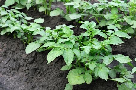 organically: organically cultivated plantation of potato