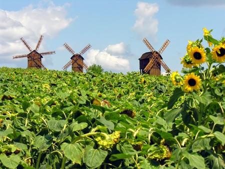 field of sunflowers and windmills in the Ukraine