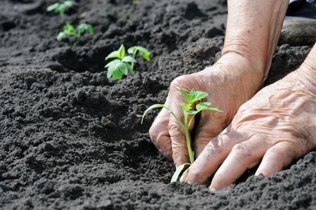 siembra: Mujer Senior plantar una semilla de tomate