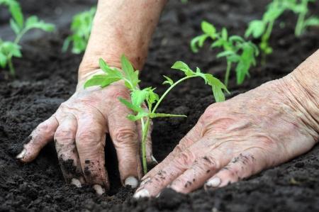 Senior woman  planting a tomatoes seedling