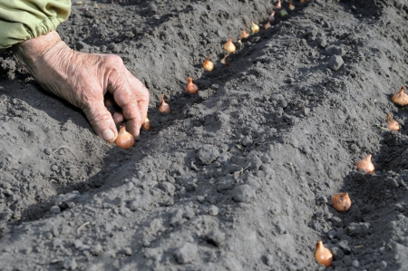 Senior woman planting onion in the vegetable garden photo