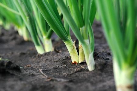 close-up of the onion plantation