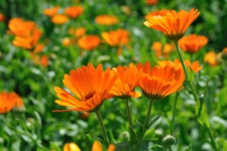 marigold: closeup of a medical  marigold flowers Stock Photo