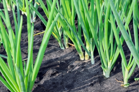 onion plantation in the vegetable garden