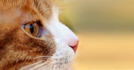 watchfulness: close-up of the red cat hunting outdoors Stock Photo