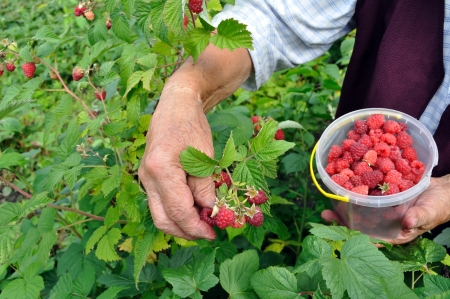 Senior woman picking raspberries in the garden Banque d'images