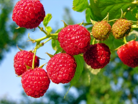 raspberries:           bunch of the ripe raspberry in the fruit garden Stock Photo