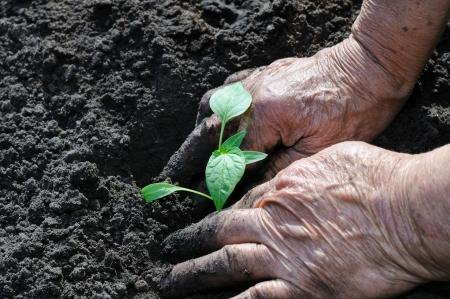 Senior woman planting a pepper seedling