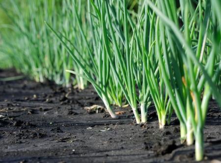 onion plantation in the vegetable garden
