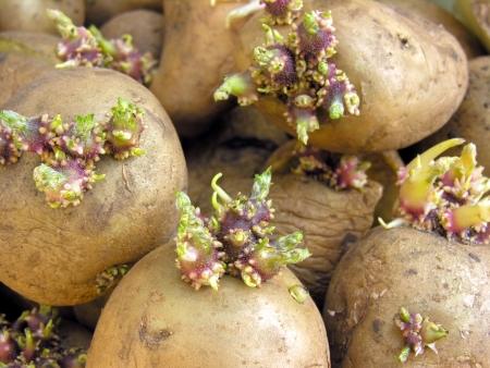 germinación: germinación de las patatas antes de la siembra en el huerto Foto de archivo