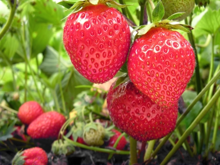 plantation of the strawberry in the  garden