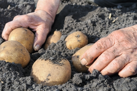 Senior woman picking potato in the vegetable garden Stock Photo