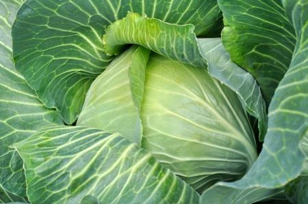 cabbage: primer plano de col fresca en el huerto