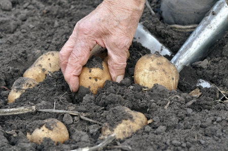 senior woman harvesting potatoes in the vegetable garden Stock Photo