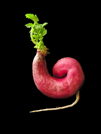 the future of GMOs  Industry  conceptual image of  modified red radish  photo