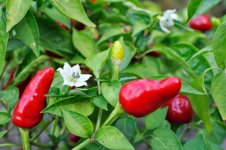 close-up of blooming chili peppers in the vegetable garden