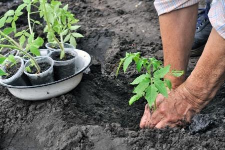 vegetable gardening: senior woman  planting a tomato seedling