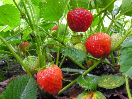 plantation of the strawberry after the rain