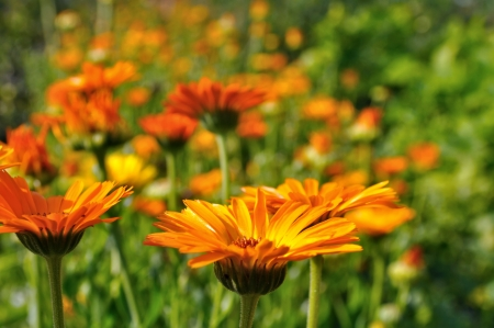 marigold: close-up of marigold plantation in the field