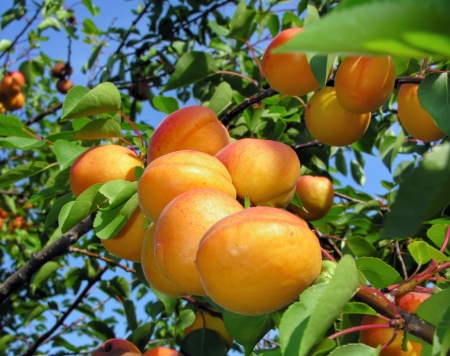 close-up of the ripe apricots in the orchard