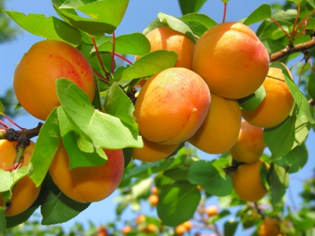 close-up of ripe apricots  in the orchard