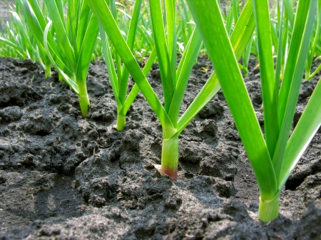 close-up of  garlic plantation in the vegetable garden