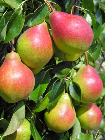 close-up of ripe pears
