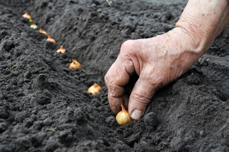 senior woman planting onion in the vegetable garden Stock Photo
