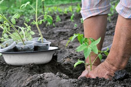 Senior woman planting a tomato seedling