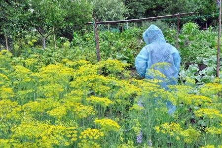 capote: seasonal work in the vegetable garden in rainy weather