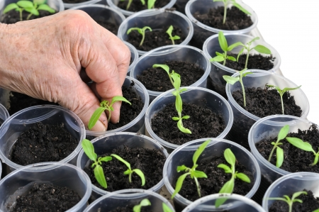 planting young tomato seedlings in the pots photo