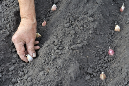 Senior woman planting garlic in the vegetable garden