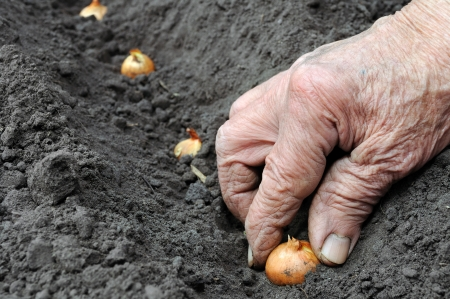 Senior woman planting onion in the vegetable garden