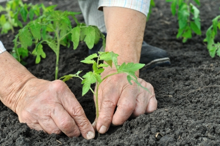 senior woman planting a tomato seedling in the vegetable garden photo