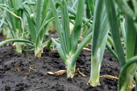 close-up of the onion plantation in the vegetable garden after the rain photo