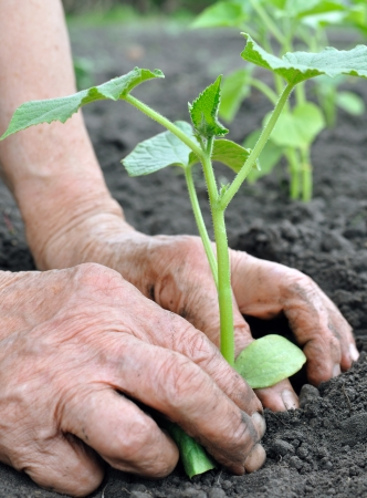 senior woman planting a cucumber  seedling in the vegetable garden