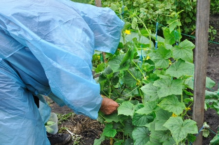 capote: senior woman working in the cucumber plantation in rainy weather