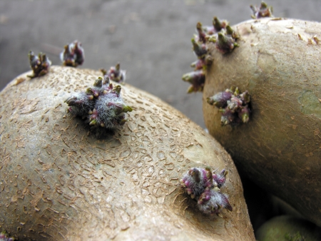 germinating:           germinating potatoes before the planting in the vegetable garden