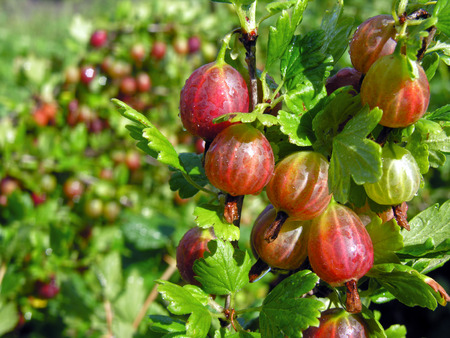 gooseberry bush:           ripe gooseberries after the watering