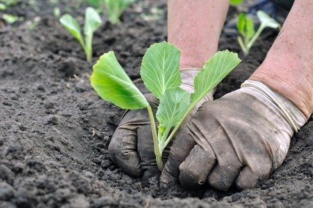 senior woman planting cabbage seedling in the vegetable garden photo
