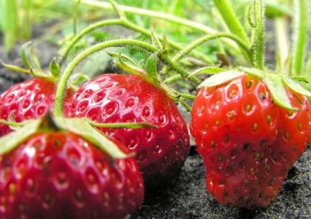 organically:           Organically cultivated plantation of strawberry