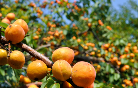 close-up of the ripe apricots in the orchard 7