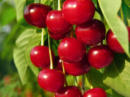 ripe sweet cherry on a tree in the garden