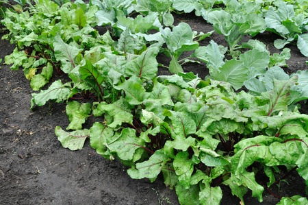 organically cultivated beetroot and cabbage in the vegetable garden