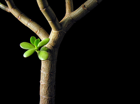 crassula ovata:   conceptual image of Crassula Ovata   Money Tree, Jade Plant , isolated on black