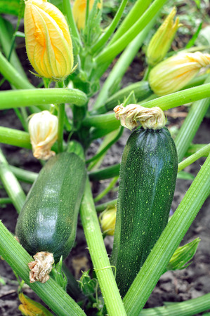 vegetable marrow: flowering zucchini in the vegetable garden