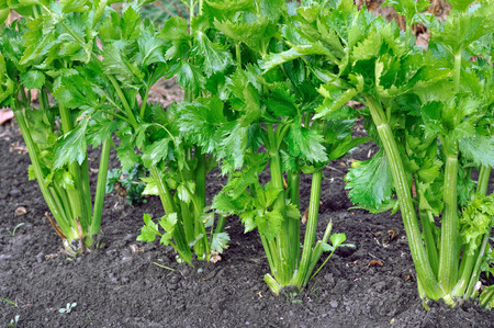 close-up of celery plantation in the vegetable garden