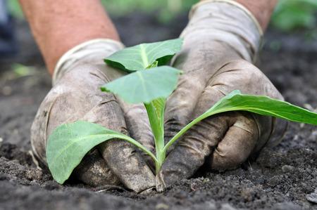 granjero: agricultor siembra de plántulas de repollo en el huerto